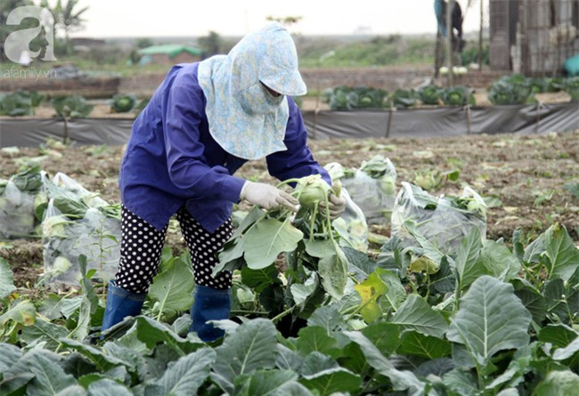 Hết củ cải Mê Linh, nông dân Hải Dương rớt nước mắt vứt hàng tấn su hào ven đường - Ảnh 5.