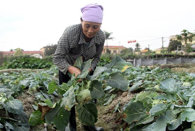 Hết củ cải Mê Linh, nông dân Hải Dương rớt nước mắt vứt hàng tấn su hào ven đường - Ảnh 6.