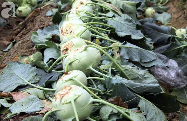 Hết củ cải Mê Linh, nông dân Hải Dương rớt nước mắt vứt hàng tấn su hào ven đường - Ảnh 7.