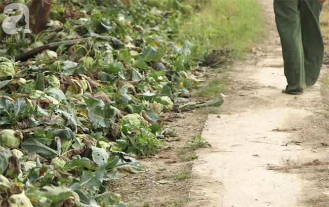 Hết củ cải Mê Linh, nông dân Hải Dương rớt nước mắt vứt hàng tấn su hào ven đường - Ảnh 13.