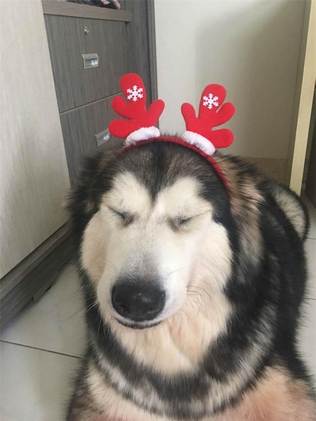 Chú chó Alaska cào cửa báo tin, cứu sống gia đình chủ trong vụ cháy chung cư ở Sài Gòn - Ảnh 3.