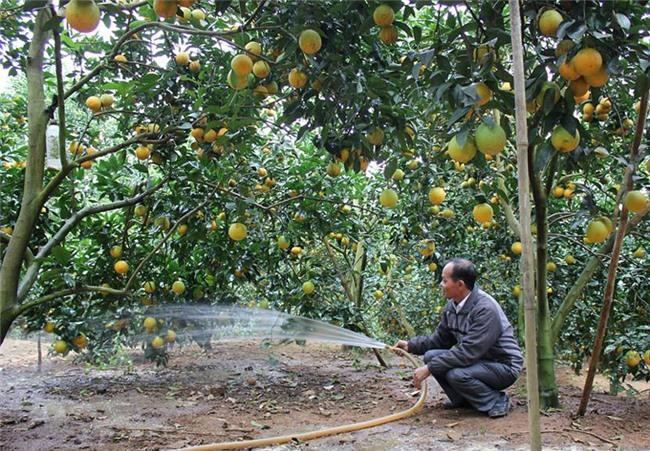 trồng cam,trồng bưởi,nông sản việt,nông sản vỡ trận,Bộ NN-PTNT
