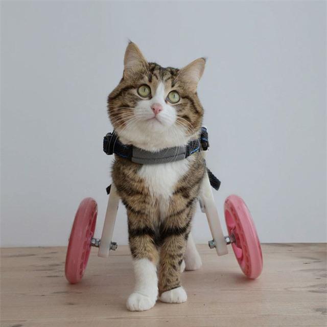 Bị liệt 2 chân sau và phải gắn xe lăn, nhưng mèo Rexie vẫn vô tư, yêu đời