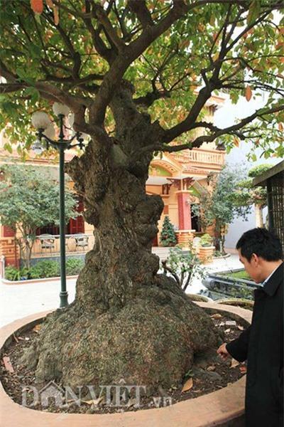 cây lộc vừng,cây cổ thụ