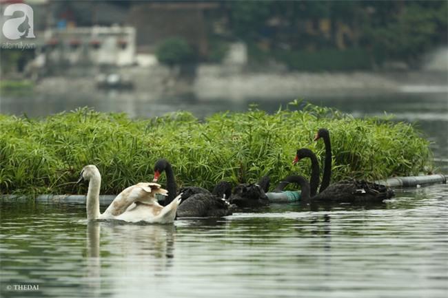 Một cá thể Thiên Nga được thả tại hồ Thiền Quang bị mất tích nhiều ngày qua - Ảnh 1.