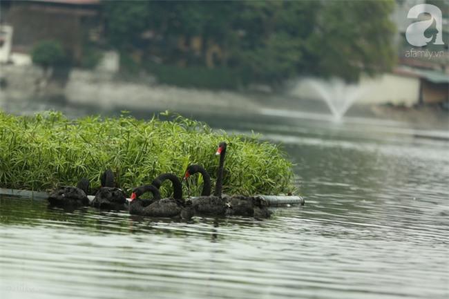 Một cá thể Thiên Nga được thả tại hồ Thiền Quang bị mất tích nhiều ngày qua - Ảnh 2.