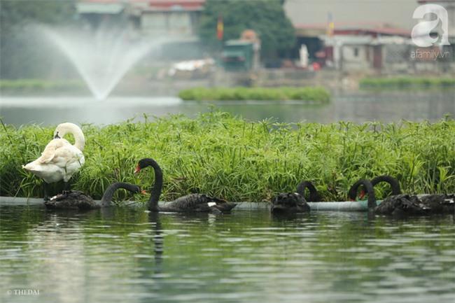 Một cá thể Thiên Nga được thả tại hồ Thiền Quang bị mất tích nhiều ngày qua - Ảnh 4.
