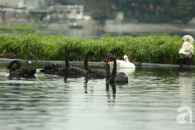 Một cá thể Thiên Nga được thả tại hồ Thiền Quang bị mất tích nhiều ngày qua - Ảnh 5.