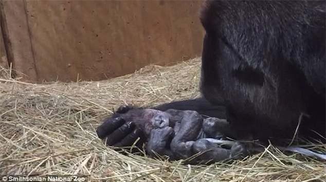 Khoảnh khắc lay động hàng triệu người xem: Lần đầu làm mẹ, cô khỉ đột nâng niu, khẽ hôn nhẹ lên môi con - Ảnh 4.