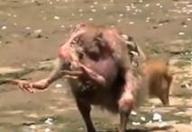 Lạ lùng gà có 4 chân ở Ấn Độ