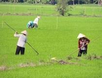 Nghi thương lái nước ngoài tung chiêu với lúa