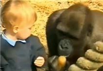 Thót tim clip em bé chơi đùa với khỉ đột