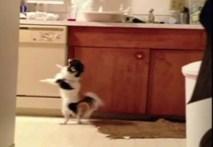 Điệu nhảy của chú chó Chihuahua