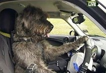 Huấn luyện chó... lái xe ô tô