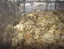 TP.HCM: Phát hiện 2 tấn thịt gà thối