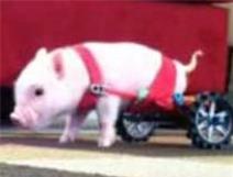 Lợn dị tật đi xe lăn gây sốt trên mạng
