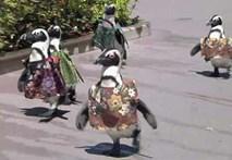Chim cánh cụt mặc áo thổ dân