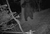 Camera phát hiện gấu rừng nhảy nhót trong đêm