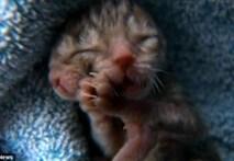 Chú mèo Duecy có hai mặt dính liền