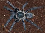 Hai cô gái Campuchia bình thản chế biến rồi thưởng thức nhện độc khiến dân tình khiếp đảm-9