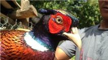 Trại gà, chim rừng quý đem về nửa tỷ mỗi năm ở miền Tây
