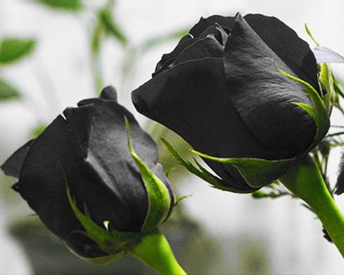 Hoa Hồng đen đẹp Kiêu Kỳ Và Huyền Bí