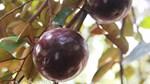 Phát sốt với giống vú sữa lạ: Trái chín vàng bóng, ra quả quanh năm-10