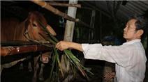 Lão nông thu lãi 500 triệu đồng mỗi năm từ chăn nuôi