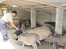 Thu 500 triệu đồng mỗi năm từ nuôi lợn rừng