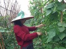 'Tiểu thư' giàu có bỏ Singapore về Việt Nam bán rau sạch