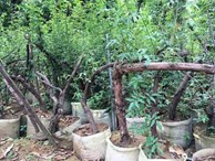 Bí ẩn 'thung lũng' 3.000 gốc hoa hồng ở Hà Nội