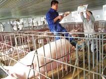 """Muốn """"gặp"""" lợn phải cách ly trước 3 ngày, qua phòng sát trùng"""