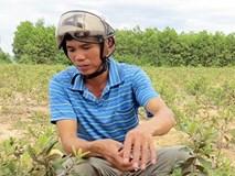 'Kẻ điên' phá rừng trồng sim dại