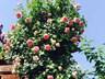 Mẹ Việt của vườn hồng triệu bông mách cách trồng hoa 'lên như nấm'