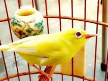 'Vua chim màu' đất Bắc kể chuyện chim hoàng khuyên 500 triệu/con