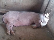 Lợn nái hung dữ, cắn giám đốc mất… tinh hoàn