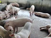 """Lợn """"Kobe"""" giá 300.000 đồng/kg được cho ăn gì?"""