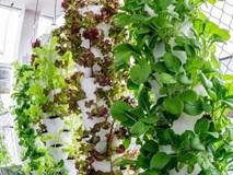 Vườn rau treo ngược trên trần nhà của chàng trai 9X