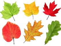 Hãy chọn chiếc lá mùa thu bạn thích nhất và khám phá điều bất ngờ từ nó