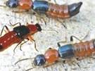 Đuổi sạch kiến ba khoang ra khỏi nhà mà không cần thuốc