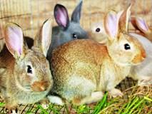 Bài Toán hóc búa: Nhốt thỏ vào lồng