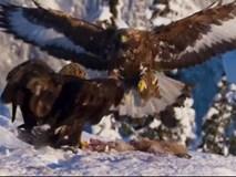 Đại bàng vàng quyết chiến đồng loại giành miếng ăn