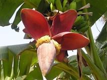 Phần này của cây chuối chữa được bách bệnh và có thể ăn như rau hàng ngày