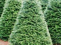 Cận cảnh cây thông Noel thật từ Mỹ giá 7 triệu đồng