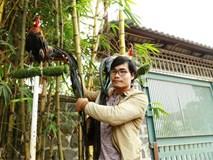 Chi 65 triệu rước gà Nhật đuôi siêu dài về chơi Tết