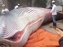 Trung Quốc: Nhà hàng mua cá voi 8 tấn, yêu cầu đầu bếp giết thịt trước mặt quan khách