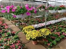 Làng hoa đẹp ít người biết ở Hưng Yên