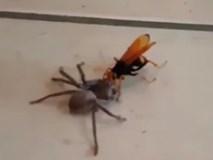 Ong khổng lồ tha nhện thợ săn về tổ ăn thịt