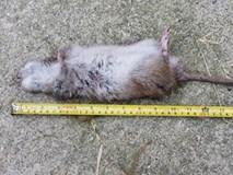 Bắt được chuột khổng lồ to hơn mèo ở Anh