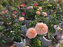 Cận Tết, ghé thăm vườn hồng rộng 900m² với 3000 gốc hồng nở rực rỡ ở ngoại thành Hà Nội